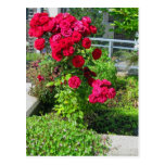 An Explosion of Roses Postcard