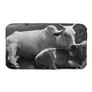 An Indian cow and its calf  lying in a farmyard iPhone 3 Covers