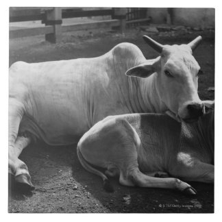 An Indian cow and its calf  lying in a farmyard Ceramic Tile