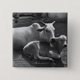 An Indian cow and its calf  lying in a farmyard Pinback Button