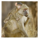 An infant Yellow Baboon(Papio Ceramic Tiles