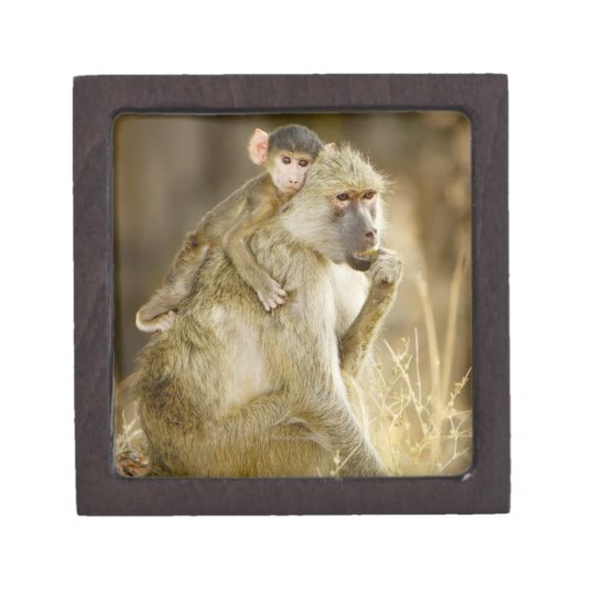 An infant Yellow Baboon(Papio Jewelry Box