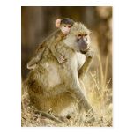An infant Yellow Baboon(Papio Post Card