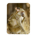An infant Yellow Baboon(Papio Rectangle Magnets