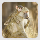 An infant Yellow Baboon(Papio Square Stickers
