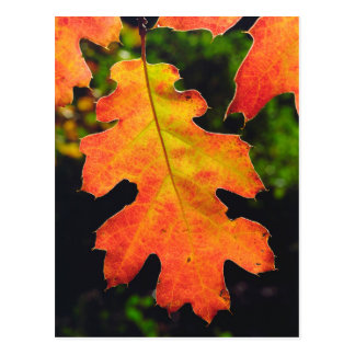 An Oak Leaf in Six Rivers National Forrest Postcard