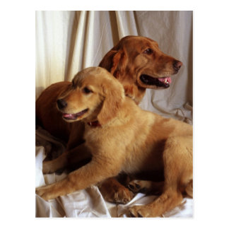 An older Golden Retriever and a puppy against Postcard