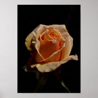 An Orange Rose, M'Lady 2 zazzle_print