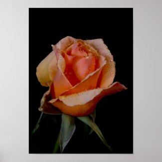 An Orange Rose, M'Lady zazzle_print