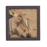 An Oxpecker on a warthogs snout, Isimangaliso, Gift Box