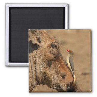 An Oxpecker on a warthogs snout, Isimangaliso, 2 Inch Square Magnet