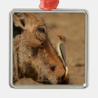 An Oxpecker on a warthogs snout, Isimangaliso, Metal Ornament