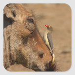 An Oxpecker on a warthogs snout, Isimangaliso, Square Sticker