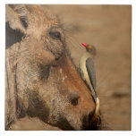 An Oxpecker on a warthogs snout, Isimangaliso, Tiles