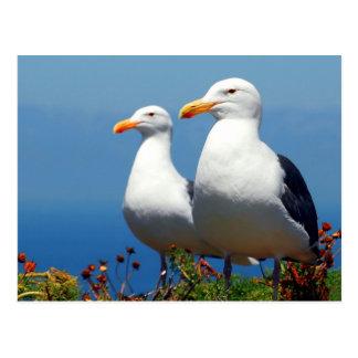 Anacapa Island Western Gull Post Cards