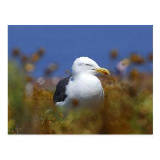 Anacapa Island, Western Gull Post Card