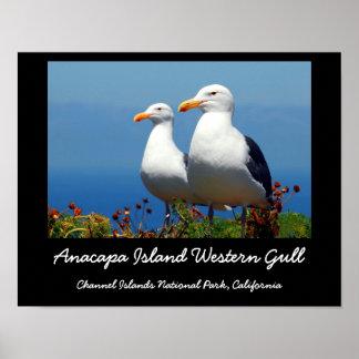 Anacapa Island, Western Gull Poster