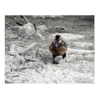 Anadón 9043 del pato silvestre postales