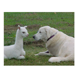 Anatolian shepherd and alpaca baby postcards