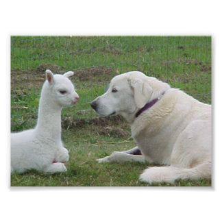 Anatolian Shepherd and Alpaca Cria Photo Print