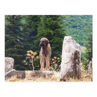 Anatolian Shepherd Dog -  Ephesus, Turkey Postcard