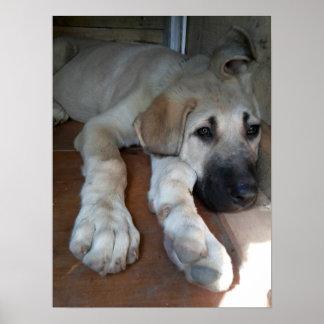 Anatolian Shepherd Dog Poster