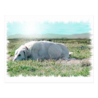 Anatolian shepherd postcard