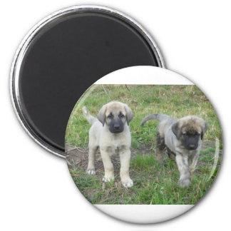 Anatolian Shepherd Puppies Dog 2 Inch Round Magnet