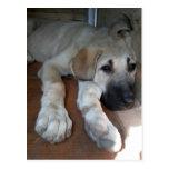 Anatolian Shepherd Puppy Postcard