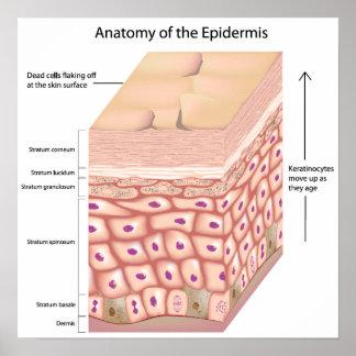 anatomía 3d del poster de la epidermis