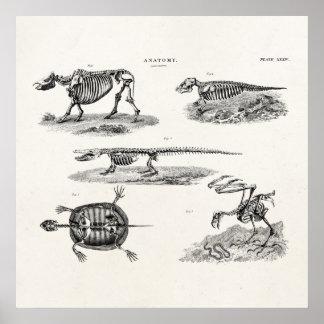 Anatomía antigua de los esqueletos animales de los póster