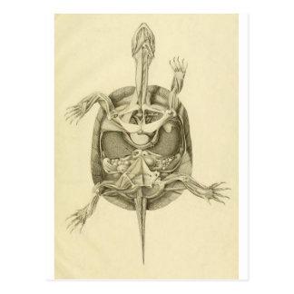Anatomía biológica de la tortuga del vintage tarjetas postales
