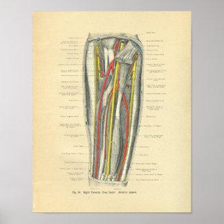 Anatomía de Frohse del vintage del antebrazo Poster