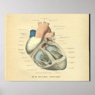 Anatomía de Frohse del vintage del corazón humano Póster