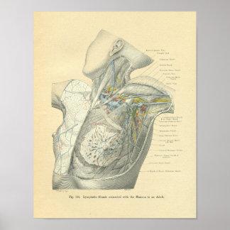 Anatomía de Frohse del vintage del torso femenino Poster