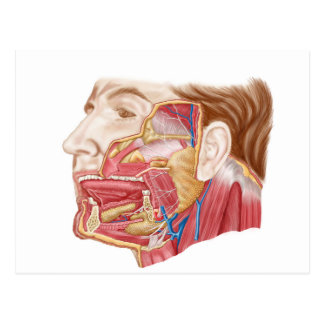 Anatomía de glándulas salivales humanas tarjeta postal