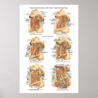 Anatomía de la capa superficial y profunda de la c impresiones