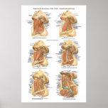 Anatomía de la capa superficial y profunda de la c póster