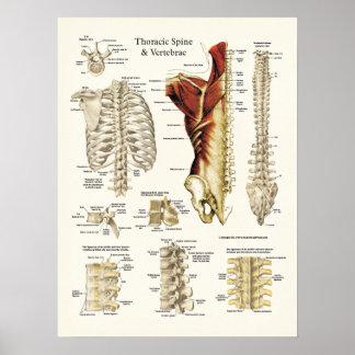 Anatomía de la espina dorsal y de las vértebras to impresiones