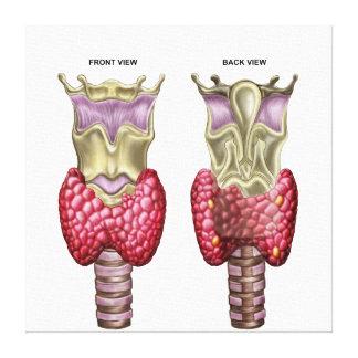 Anatomía de la glándula tiroides con la laringe y impresión en lienzo