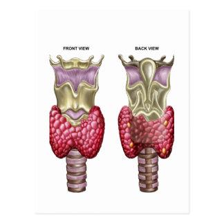 Anatomía de la glándula tiroides con la laringe y postales