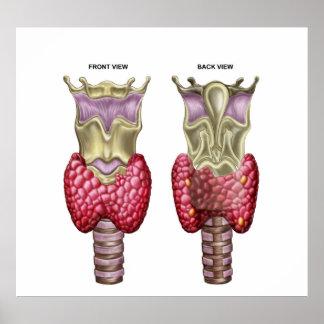 Anatomía de la glándula tiroides con la laringe y póster