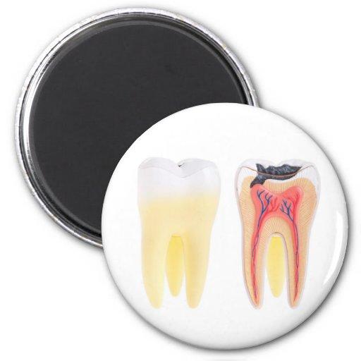Anatomía de los dientes imán redondo 5 cm