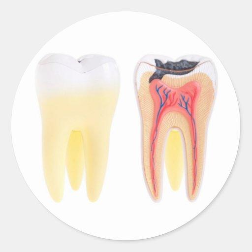 Anatomía de los dientes pegatina redonda