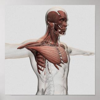 Anatomía de los músculos masculinos en cuerpo póster
