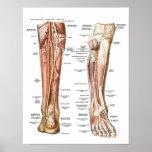 Anatomía de los pies posters