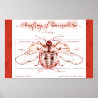 Anatomía de un poster de la mariquita (Coccinellid