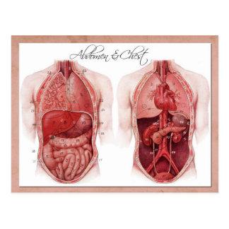 Anatomía del abdomen y del pecho postal