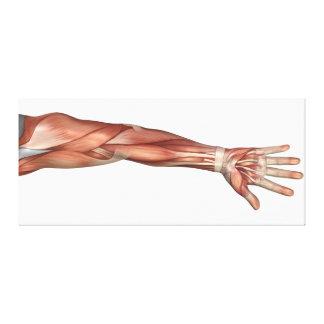 Anatomía del brazo humano, visión anterior del lienzo envuelto para galerias