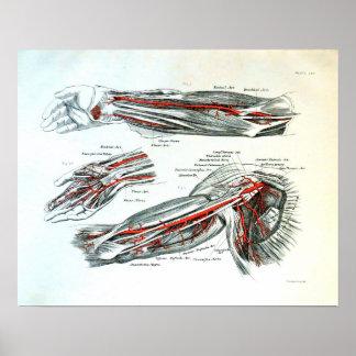 Anatomía del brazo impresiones
